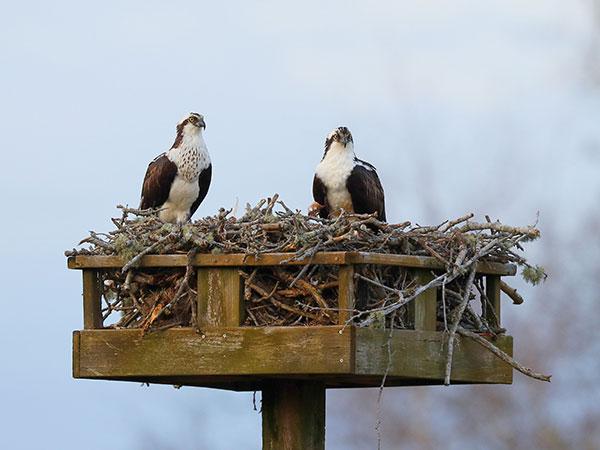 OPET Osprey nest platform