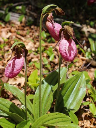 A trio of lady slippers